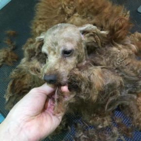 Poodle with severely matted and tangled fur without regular grooming