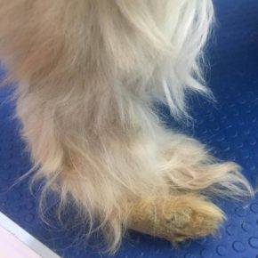 dog with untrimmed paw pad fur