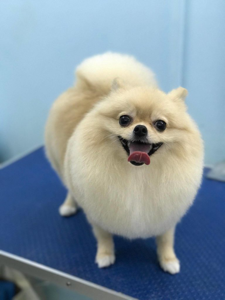 full grooming of a pomeranian dog by doggylicious dog groomer in singapore